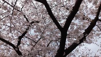 2017 桜 2.jpg