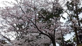 2017 桜 3.jpg