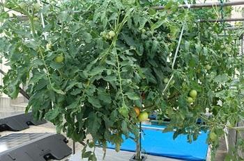 スマイル農園 トマト.jpg