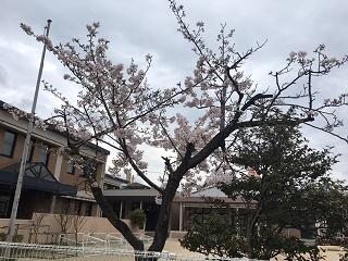 幼稚園の桜.jpg