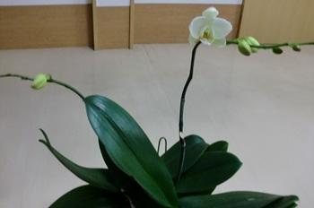 胡蝶蘭6.10-2.jpg